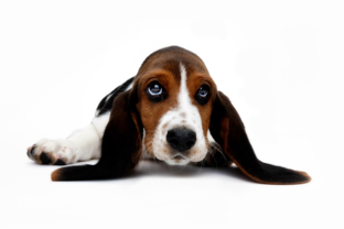 ear infection treatment for dogs